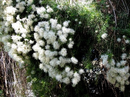 Melaleuca alternifolia_IMG_6032-001