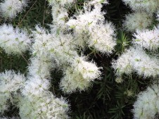 Melaleuca alternifolia_IMG_6035 (2)