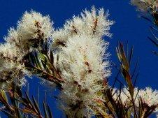 Melaleuca alternifolia_IMG_6037-001-a