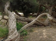 Melaleuca armillaris IMG_2195 (2)