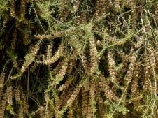 Melaleuca cuticularis IMG_6895-001