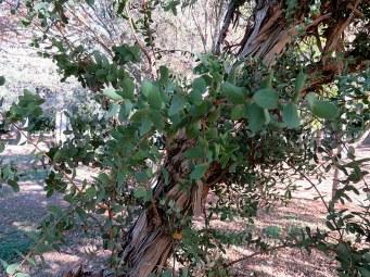 Melaleuca elliptica IMG_5323-001
