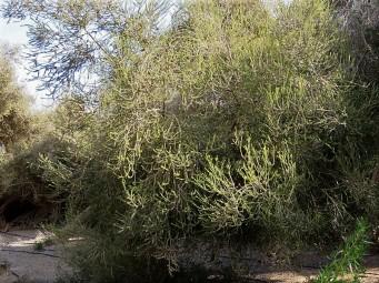 Melaleuca ericifolia_IMG_6581 (2)