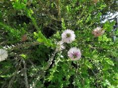 Melaleuca_nesophila_IMG_8871 (3)