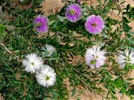 Melaleuca_nesophila_P6270269_1a (2)