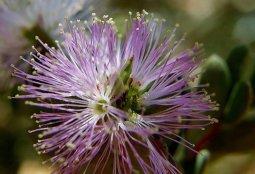 Melaleuca_nesophila_P7160082_abb