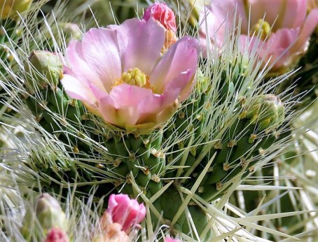 Opuntia cylindrica-3 (2)