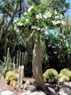 Pachypodium geayi IMG_6259-001