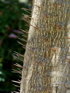 Pachypodium geayi IMG_6262-001
