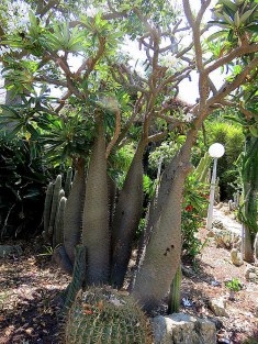 Pachypodium geayi IMG_6285-002
