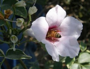 Pandorea jasminoides_P5210020_1a