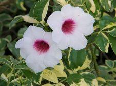 Pandorea jasminoides 'Variegata'