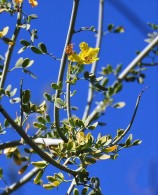 Parkinsonia_Cercidium floridum IMG_5261 (2)