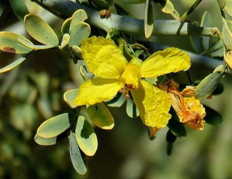 Parkinsonia_Cercidium floridum IMG_5271-001 (2)