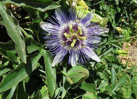Passiflora L. IMG_1688-001 (2)
