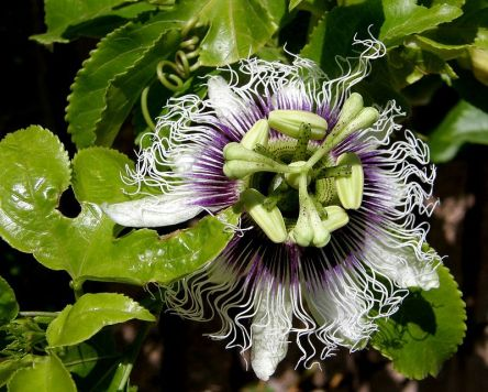 Passiflora_P5050051-1a