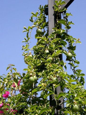 Passiflora_P5050079_a