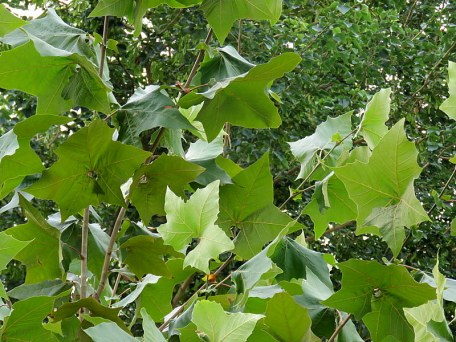 Platanus racemosa IMG_4942-001