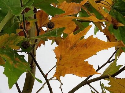 Platanus racemosa IMG_4956-001 (2)