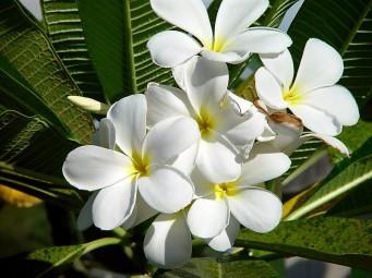 Plumeria alba P7290155 (2)
