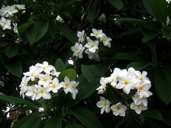 Plumeria pudica alba P7290156-003-a