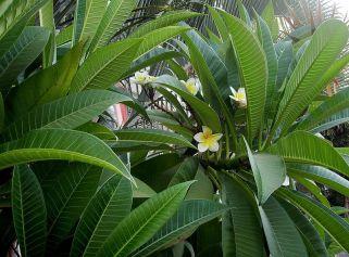 Plumeria rubra Yellow 0830_B