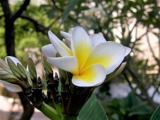 Plumeria rubra Yellow P6210361_B (2)