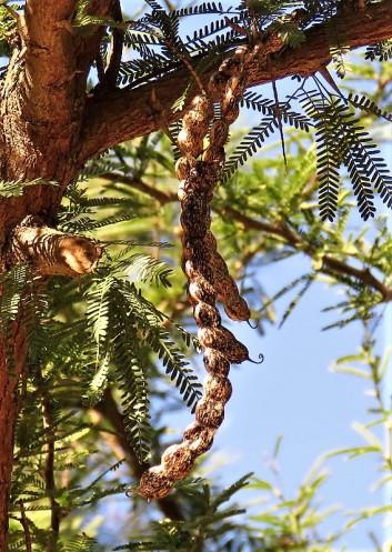 Prosopis affinis IMG_5340-001 (2)