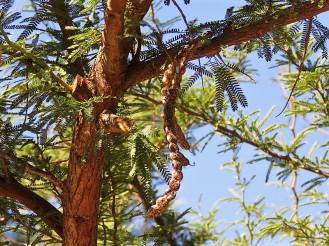 Prosopis affinis IMG_5340 (2)