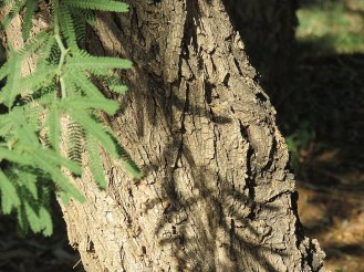 Prosopis affinis IMG_5343-001