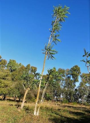 Prosopis cineraria IMG_5533 (2)
