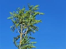 Prosopis cineraria IMG_5534 (2)