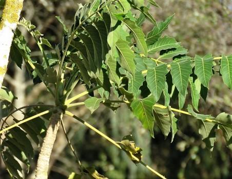 Prosopis cineraria IMG_5535-001 (2)