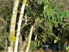 Prosopis cineraria IMG_5535 (2)