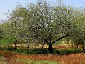 Prosopis juliflora IMG_3204-001