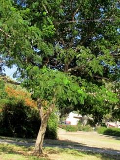 Prosopis juliflora_IMG_2876-001