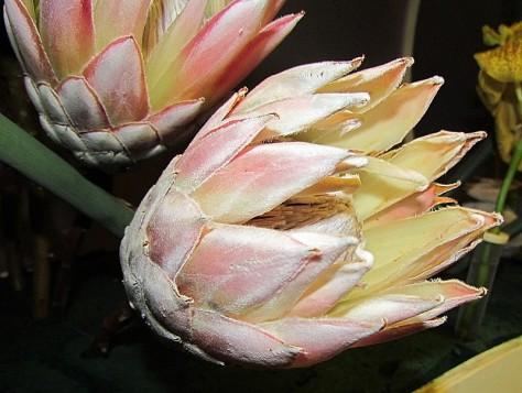 Protea IMG_9615-001 (2)