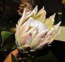 Protea IMG_9620-001 (2)
