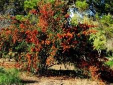 Pyracantha crenulata IMG_5497-001
