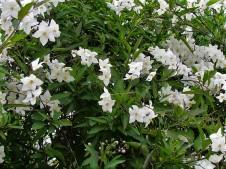 Solanum jasminoides IMG_1112 (2)