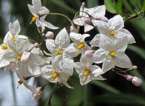 Solanum jasminoides IMG_1116 (2)