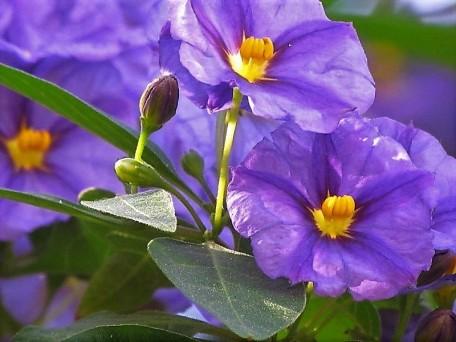 Solanum rantonnetii_IMG_0167 (2)
