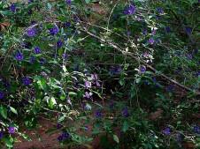 Solanum rantonnetii_IMG_1155-001 (3)