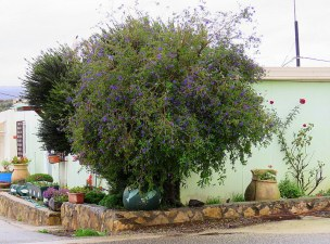 Solanum rantonnetii_IMG_8020-001