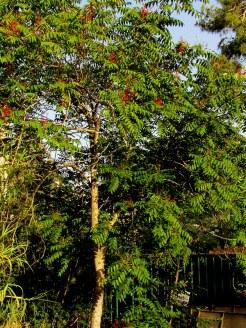Ailanthus altissima IMG_0287-002