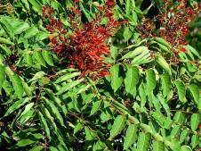 Ailanthus altissima IMG_0332-001 (2)