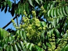 Ailanthus altissima IMG_6669-001
