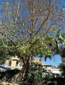 Ceiba pentandra IMG_1107 (3)