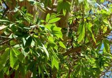 Ceiba pentandra IMG_1110-001 (2)
