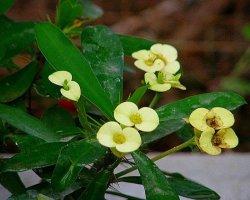 Euphorbia Milii_j_P4150105_8